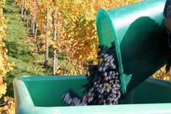 Cosecha de la uva Imagen de archivo