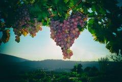 Cosecha de la uva Imagenes de archivo