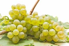Cosecha de la uva blanca Foto de archivo