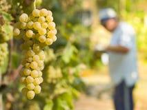 Cosecha de la uva blanca Fotos de archivo