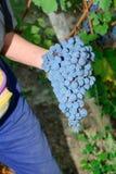 Cosecha de la uva de Nebbiolo Imagenes de archivo