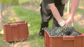 Cosecha de la uva de vino almacen de metraje de vídeo