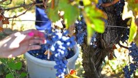 Cosecha de la uva del otoño almacen de video