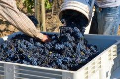 Cosecha de la uva del pinot negro Imagen de archivo libre de regalías