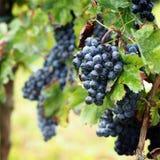 Cosecha de la uva en Italia Fotografía de archivo libre de regalías