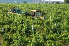 Cosecha de la uva en Serbia Imagenes de archivo