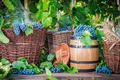 Cosecha de la uva en un pueblo Foto de archivo libre de regalías
