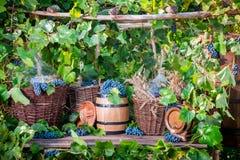 Cosecha de la uva en un pueblo en estilo pasado de moda Foto de archivo