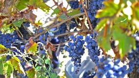 Cosecha de la uva en un viñedo almacen de metraje de vídeo