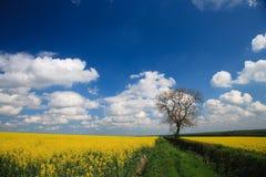 Cosecha de la violación de semilla oleaginosa y cielo azul imagen de archivo