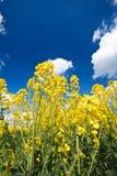 Cosecha de la violación de semilla oleaginosa y cielo azul foto de archivo