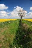 Cosecha de la violación de semilla oleaginosa y cielo azul fotografía de archivo libre de regalías