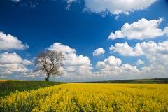 Cosecha de la violación de semilla oleaginosa y cielo azul fotografía de archivo