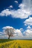 Cosecha de la violación de semilla oleaginosa y cielo azul imagen de archivo libre de regalías
