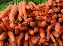 Cosecha de la zanahoria Fotos de archivo libres de regalías