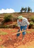 Cosecha de la zanahoria. Perú Fotos de archivo libres de regalías