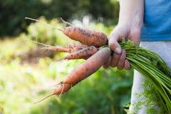 Cosecha de la zanahoria de la suciedad en el jardín, tierra, agricultura natural fotos de archivo