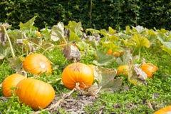 Cosecha de las calabazas que crecen en el remiendo vegetal Local orgánico fresco Foto de archivo libre de regalías