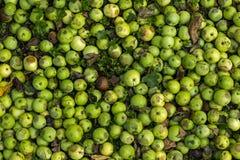 Cosecha de las manzanas del otoño Foto de archivo libre de regalías