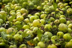 Cosecha de las manzanas del otoño Fotos de archivo libres de regalías