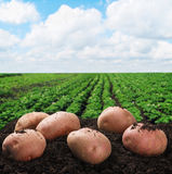 Cosecha de las patatas en la tierra Fotografía de archivo