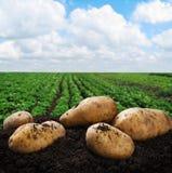 Cosecha de las patatas en la tierra foto de archivo