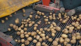 Cosecha de las patatas usando por una máquina segador de patata moderna