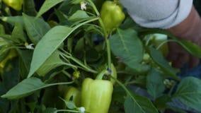 Cosecha de las pimientas verdes almacen de metraje de vídeo