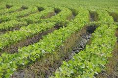Cosecha de las plantas de soja imagen de archivo