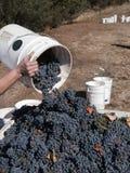 Cosecha de las uvas Foto de archivo