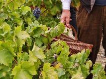 Cosecha de las uvas Foto de archivo libre de regalías