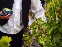Cosecha de las uvas Imagen de archivo libre de regalías