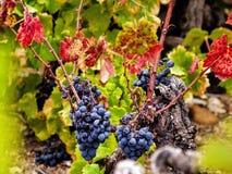 Cosecha de las uvas Fotografía de archivo libre de regalías