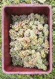 Cosecha de las uvas Imágenes de archivo libres de regalías