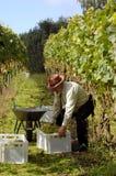 Cosecha de las uvas de vino Fotografía de archivo
