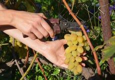 Cosecha de las uvas El granjero cortó las uvas blancas frescas para hacer el vino Imagen de archivo