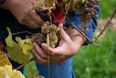 Cosecha de las uvas para el vino Imágenes de archivo libres de regalías