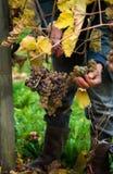 Cosecha de las uvas para el vino Fotos de archivo