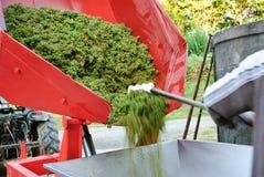 Cosecha de las uvas para el vino Imagenes de archivo