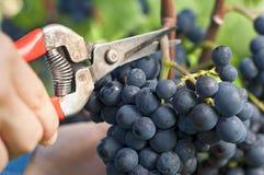 Cosecha de las uvas rojas Imagen de archivo