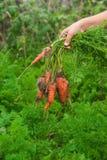 Cosecha de las zanahorias Fotografía de archivo