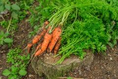 Cosecha de las zanahorias Fotos de archivo