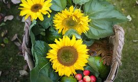 Cosecha de los girasoles agrícolas calabaza y manzanas de las cosechas con las uvas fotografía de archivo