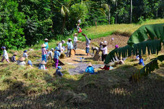 Cosecha de los ricefields Fotos de archivo libres de regalías