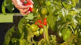 Cosecha de los tomates en el jardín metrajes