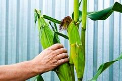 Cosecha de maíz Imagen de archivo libre de regalías