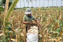 Cosecha de maíz Imágenes de archivo libres de regalías