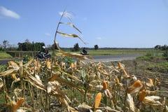 Cosecha de maíz Foto de archivo
