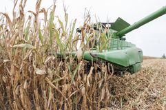 Cosecha de maíz de campo de la caída Imagen de archivo libre de regalías