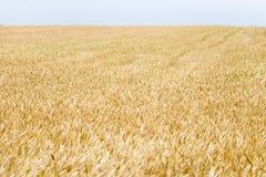Cosecha de maíz del trigo en Ucrania Fotografía de archivo libre de regalías